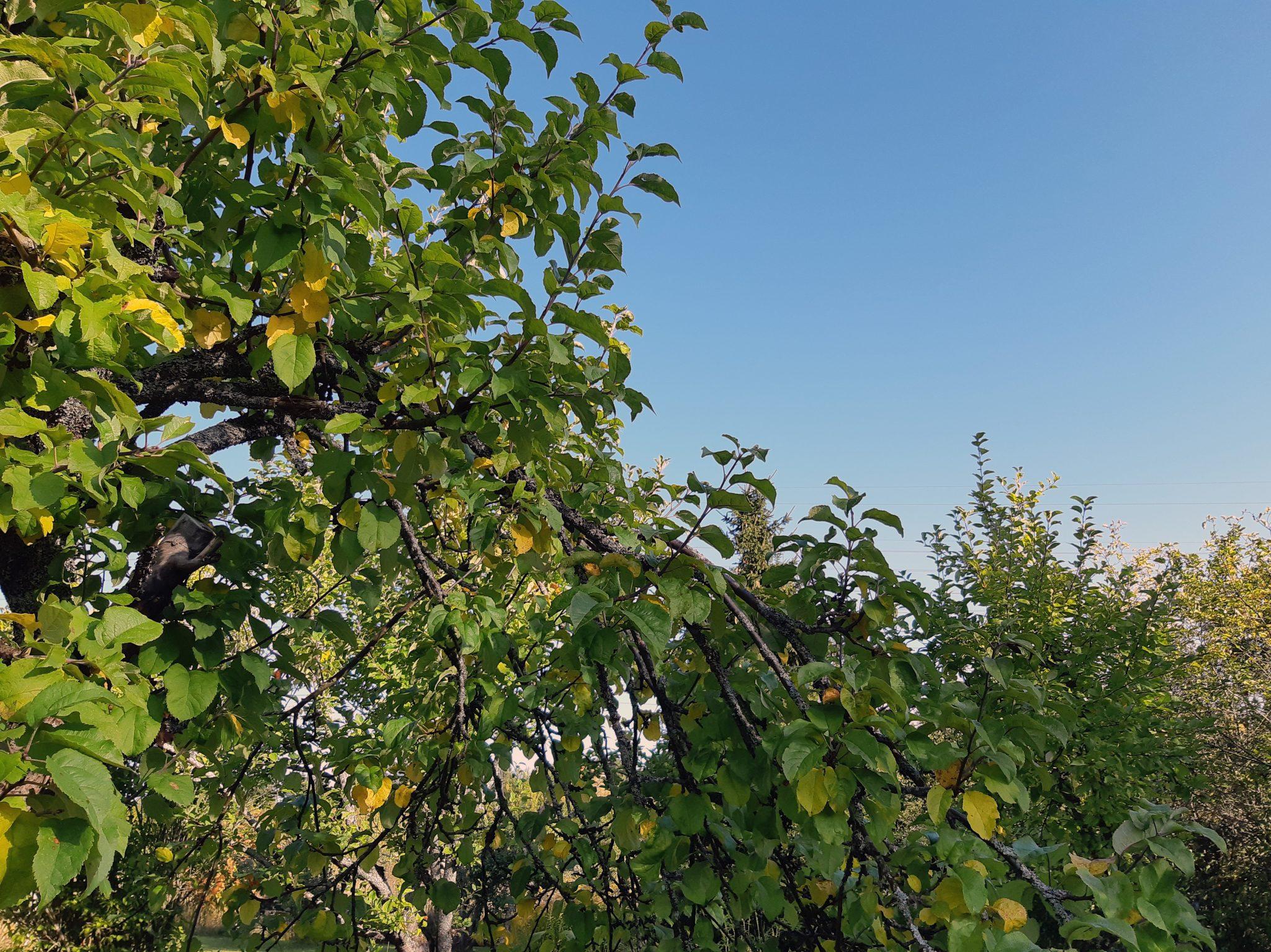 Omenapuun lehtiä puistossa