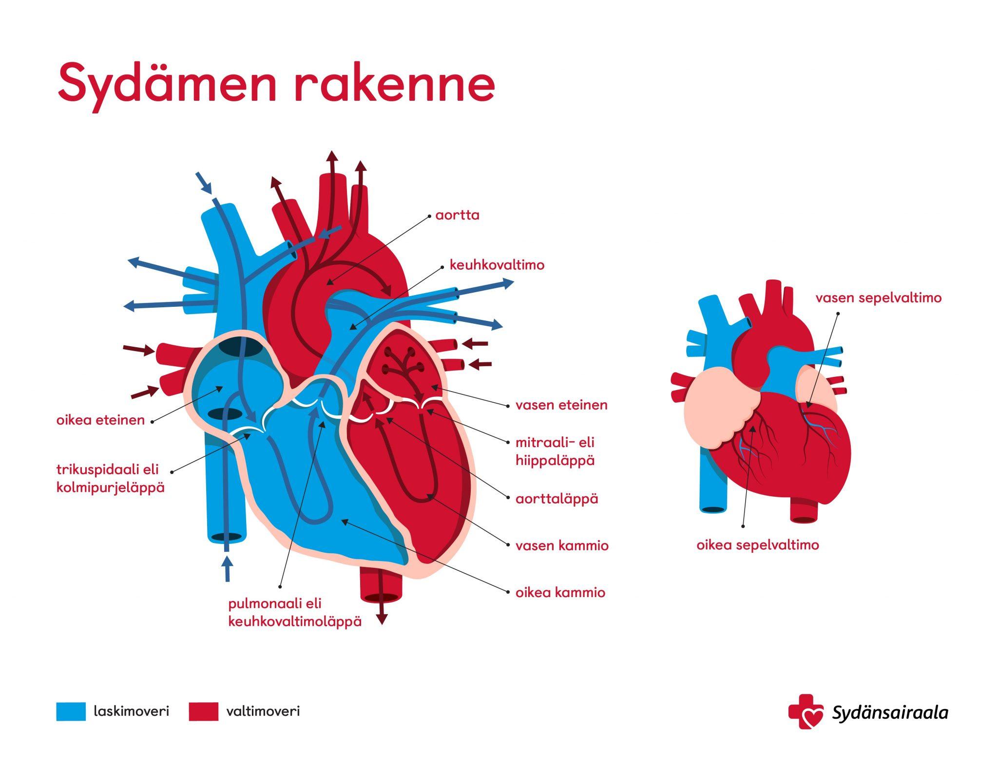 Sydämen rakenne - Sydänsairaala - Asiantuntija-artikkeli
